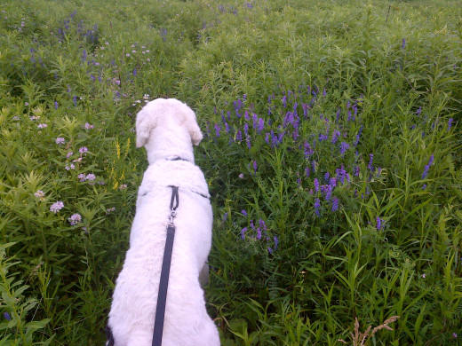 K2 leads us through a narrow trail with crown vetch blooming on our left and cow vetch blooming on our right.