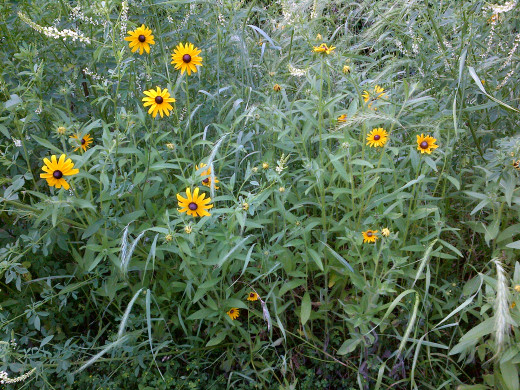 Black-eyed Susan can be picked freely.