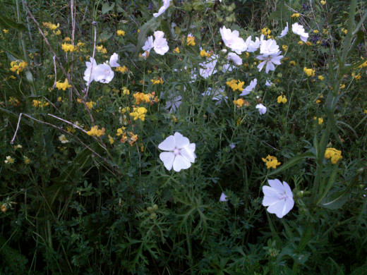 Musk Mallow (white) with bird's foot trefoil (yellow). Both of these flowers can be picked freely.