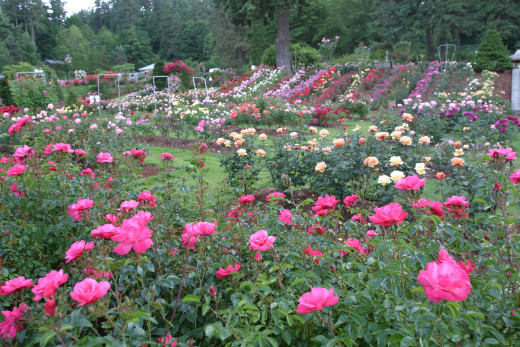 The International Rose Test Gardens