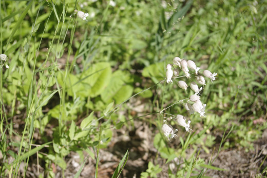 Bladder campion can be picked freely