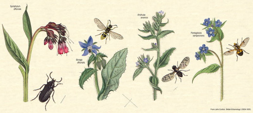 The Borage family contain some well known garden flowers such Forget-me-not and Comfrey
