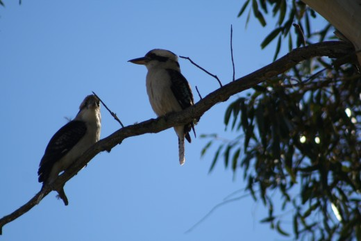 When the laugh of a kookaburra echoes through the bush, everyone stops to look. Their call is delightful !