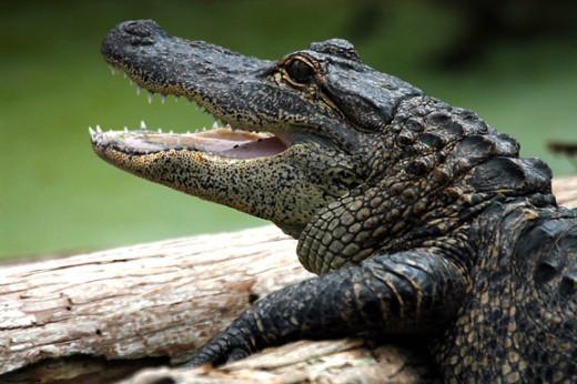 At Gatorland you can see gators.