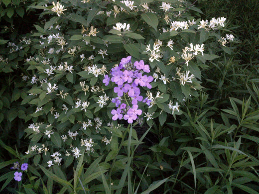 Dame's rocket among starry false Solomon's-Seal (white). Don't pick any of these.