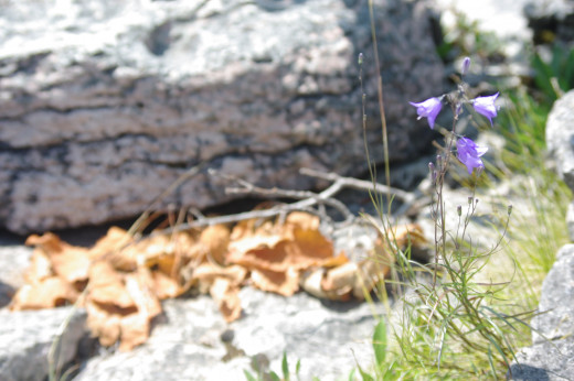 Harebell on the rocks.