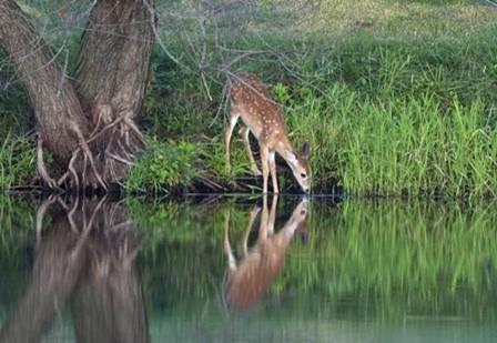 Deer at water's edge.