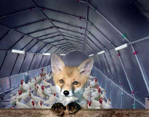 Now that the chickens are starting to feel comfortable around the fox, how long before he turns against them?