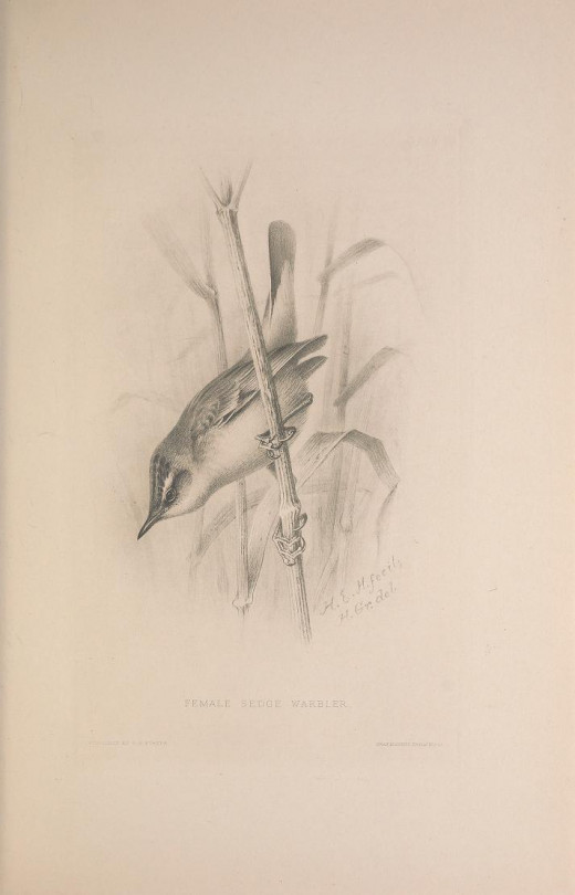 The British Warblers 1907-1914} H. E. Howard Courtesy of the BHL