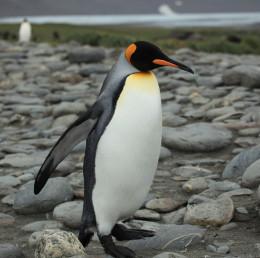 King Penguin at Salisbury Plain