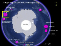 King penguin distribution