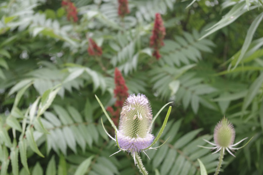 Common Teasel can be picked freely.
