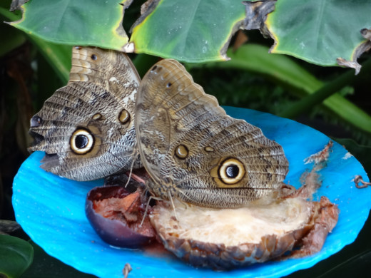 These are a couple owl butterflies on a feeding station.