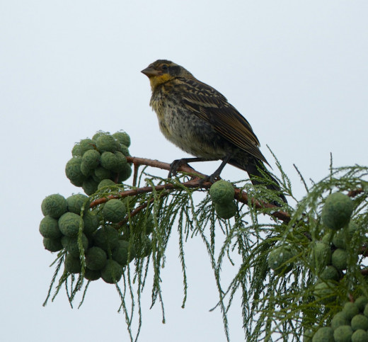 Female Red-winged Blackbird perching on Montezuma Baldcypress tree
