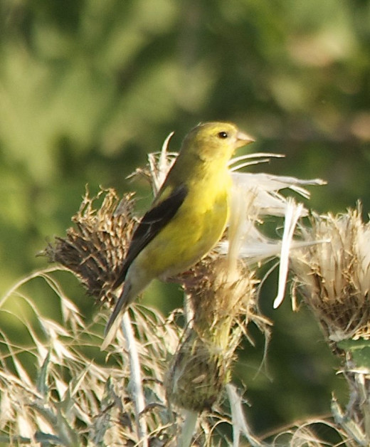 Female American Goldfinch on Thistle