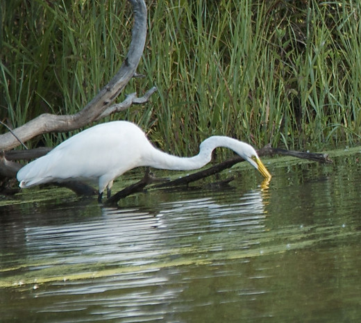 Great Egret on Fishing Expedition at Northern Reaches