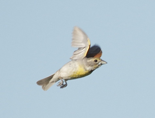 Dickcissel in Flight