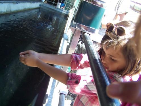 Feeding the hatchery fish.
