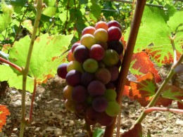 The changing colors in this bunch of grapes denotes that the plant is shifting its energy production to favor fruit. CC-attribution: Photo by kvins.com