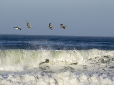 Brown Pelicans Flying On Nags Head Beach On The North Carolina Outerbanks. Come see them real soon. And enjoy the North Carolina Outerbanks.