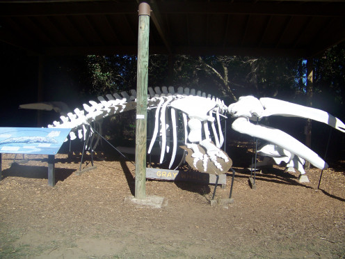 This skeleton is located next to the Gift Shop, by the Ranger Station.  Firewood is sold through the Gift Shop.