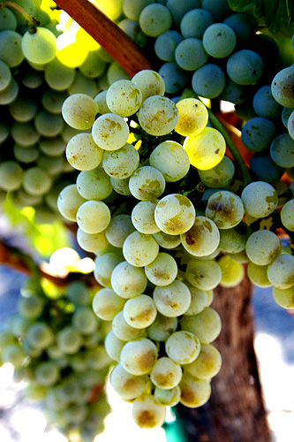 Semillon Wine Grapes