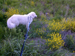 Observing summer wildflowers of Southern Ontario, Western NY and Michigan while hiking with our dog