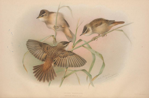 British warblers {1907-14} courtesy of the BHL