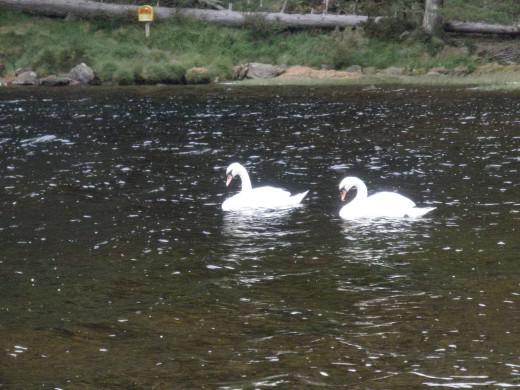 Swans in Upper Lake