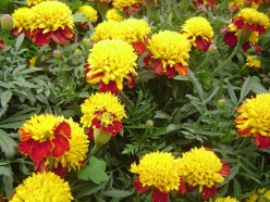 Most French marigolds bloom in combinations of red, yellow and orange. Pictured: a red and yellow hybrid.