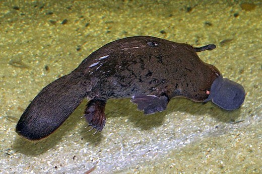 The confusing duck billed platypus