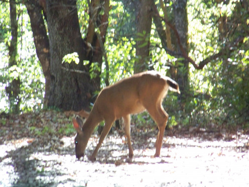 While not as common as at the other campsites, Chekaka Campground sees its share of deer.