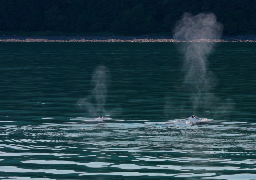 Mother and calf simultaneously blow as they swim through the green waters of the North Pacific.