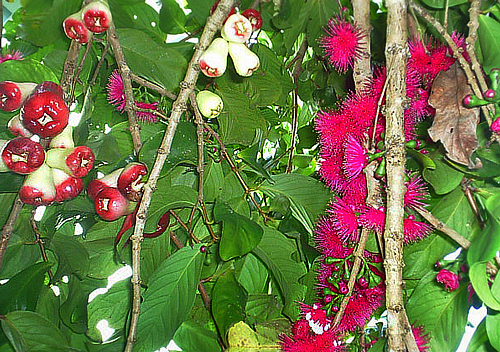 Mountain apple fruits and flowers