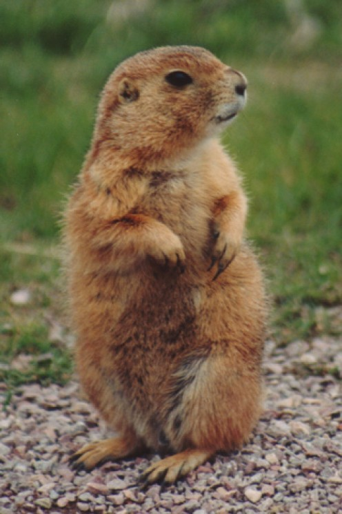 Classic prairie dog stance with folded arms