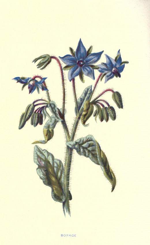Familiar wild flowers courtesy of the BHL