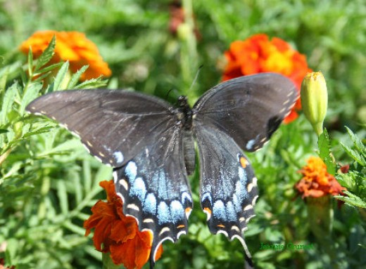 Female Eastern tiger swallow tail on marigolds in the author's garden.