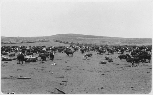 Round up on the Independence Indian Range. North Dakota. NOTE the Bison Bull in the center of the herd.
