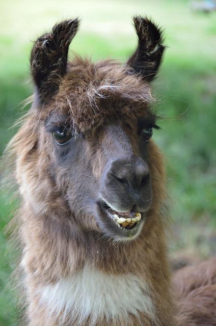 The festival mascot is the llama.