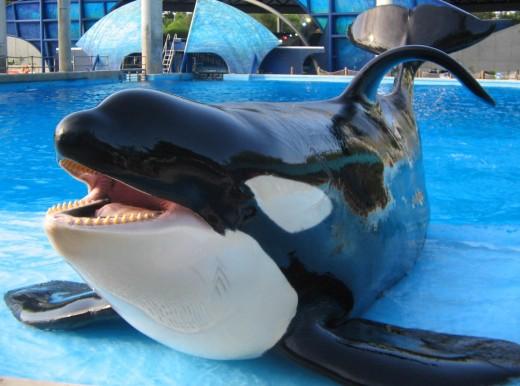 Orca (Tilikum) performing a slide-out behaviour at SeaWorld Orlando.