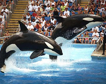 Orcas performing a jump behaviour at SeaWorld Orlando.