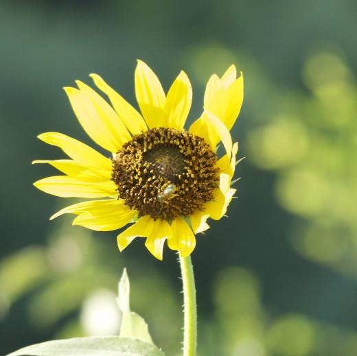 Wild Snflower