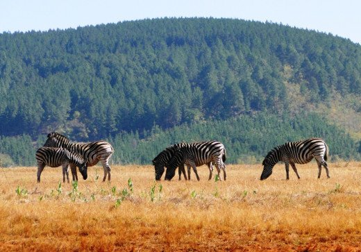 Zebras in plains