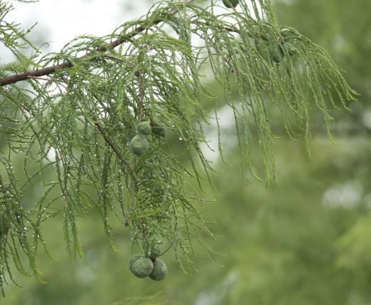 Montezuma Baldcypress