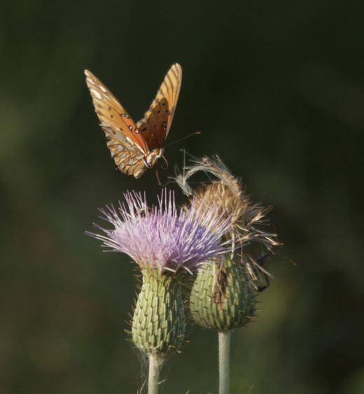 Butterfly Hovering over Thistle Flower