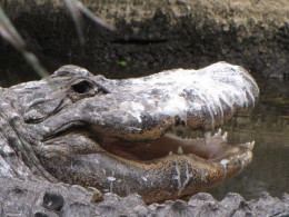 A crocodile doesn't appear to mind his bird poop facial. He's looking younger already.
