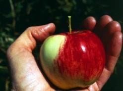 The Best Apples for Fresh Eating