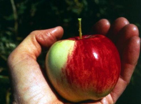 The Best Apples for Eating Fresh