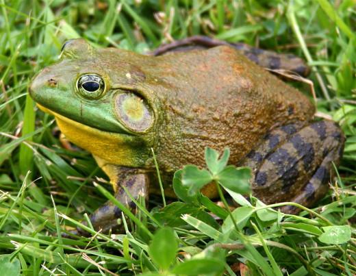 .... or bullfrogs?