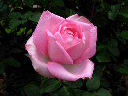 The Beverly is a fragrant Hybrid Tea rose from Germany.